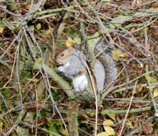 Photograph of a grey squirrel