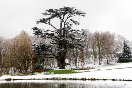 Cedar of Lebanon, Painshill on a snowy day, photographed by Andrew Trimble. Copyright Andrew Trimble.