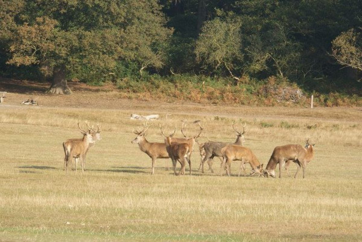 Pgds 20140915 201811 Red Deer In Richmond Park   Geograph Org Uk   1507703
